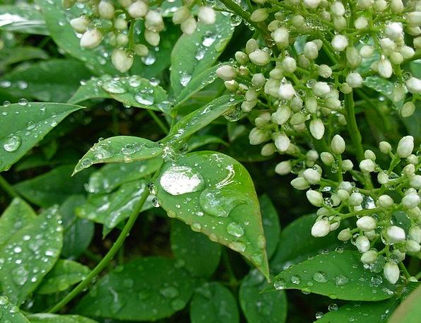Drops Droplets Greeneries Wet Rainy Leaves