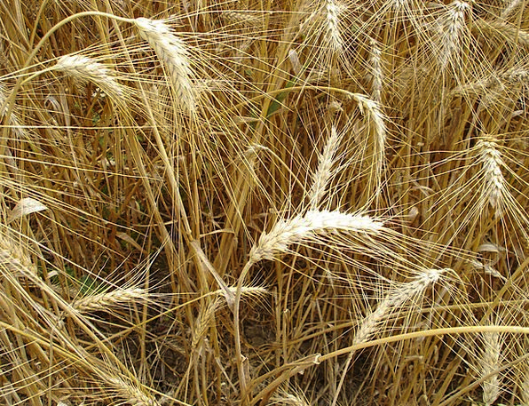 Wheats Landscapes Straw-hat Nature Nature Countrys