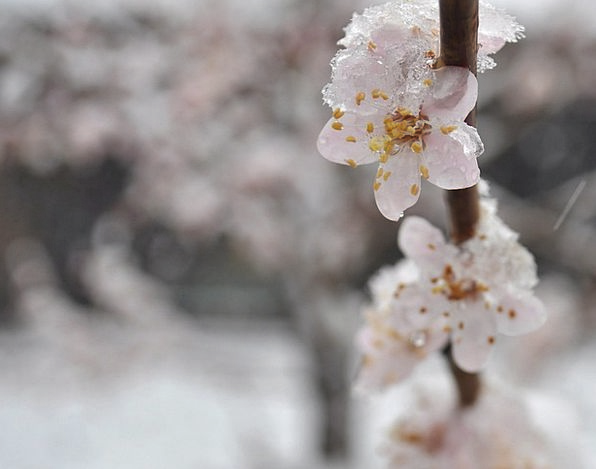 Apricot Plants Bloom Flower Flowers Aroma Branch D