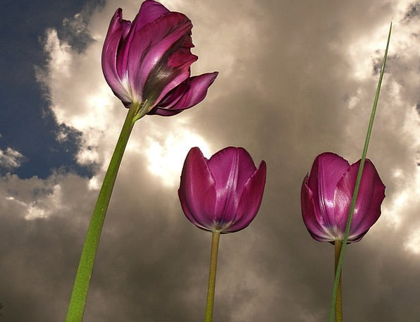 Tulips Taillight Beautiful Lovely Back Light Sky B