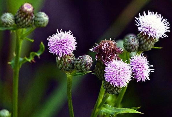 Wild Flower Weed Thistle Wild Plant Wild Rough Flo