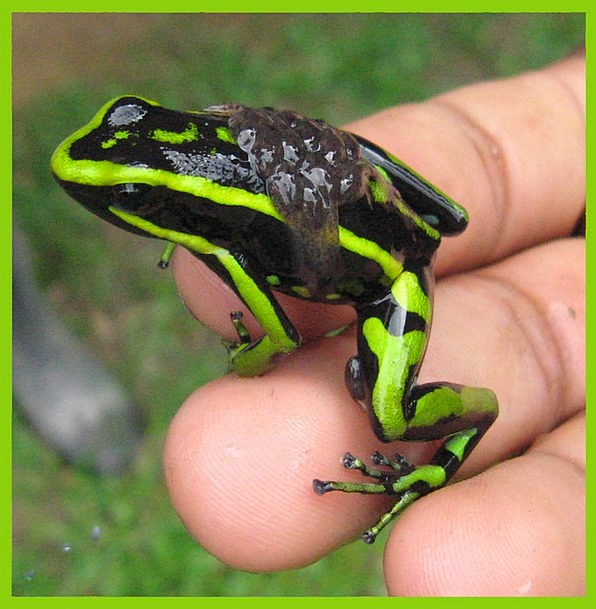 Frog Exotic Unusual Amazon Forest Tropical Hot Poi