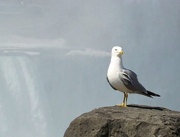 Seagull Fowl Mist Haze Bird Falls Waterfalls Water