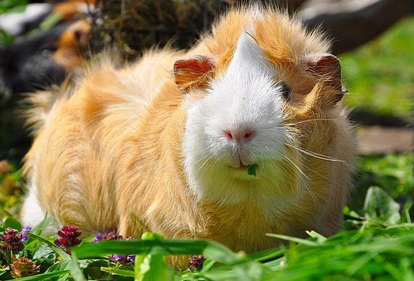Guinea Pig Domesticated Nager Pet Rodent Orange Cu