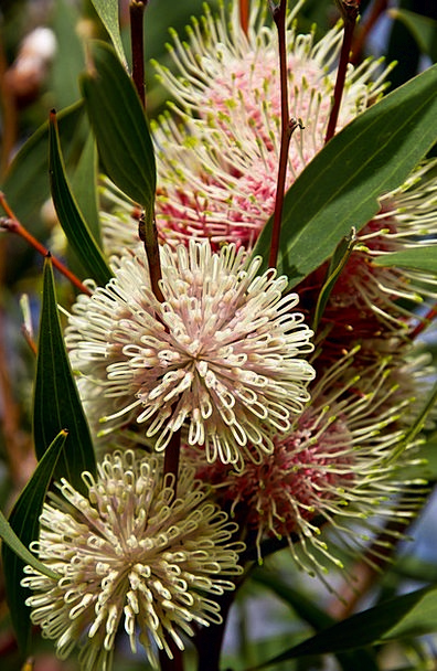 Pin cushion hakea plants australian flowers native innate pin cushion hakea plants australian flowers native mightylinksfo