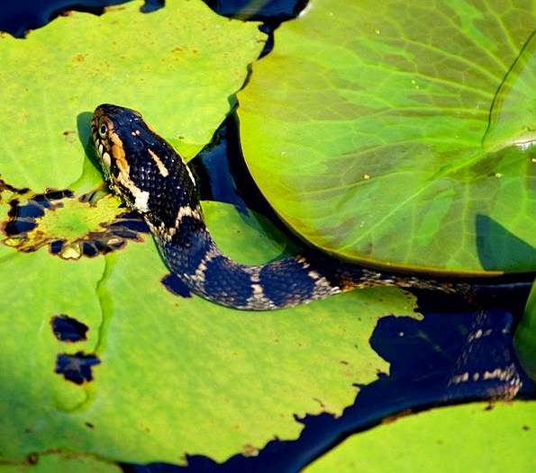 Serpent Traitor Marauder Pond Pool Predator Leathe