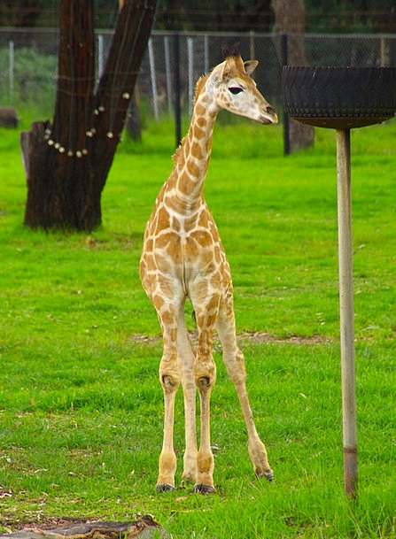 Baby Darling Animal Physical Giraffe Tall Africa S