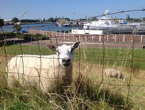 Sheep Ewe Avenue Shipyard Dockyard Boulevard Vliss