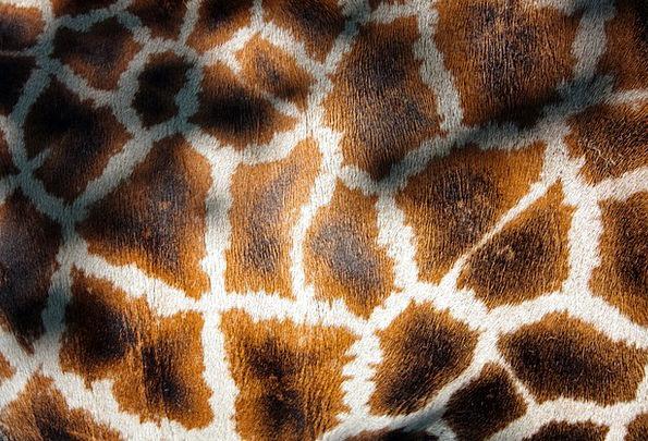 Giraffe'S Coat Manto Giraffe Fauna Fur Hair Wild M