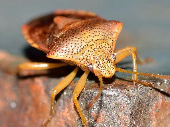 Hemiptera Bug Germ Insect