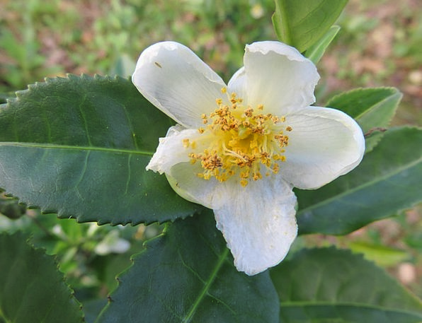 Blossom Flower Drink Camellia Sinensis Tea Tea Lea