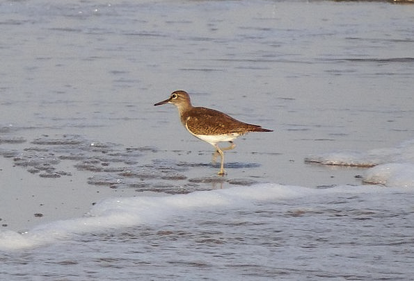 Common Sandpiper Fowl Beach Seashore Bird Wader Gu