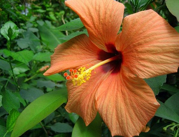 Flower Floret Landscapes Countryside Nature Hibisc