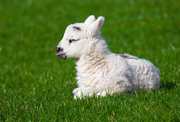 Animal Physical Darling Cute Attractive Baby Lamb