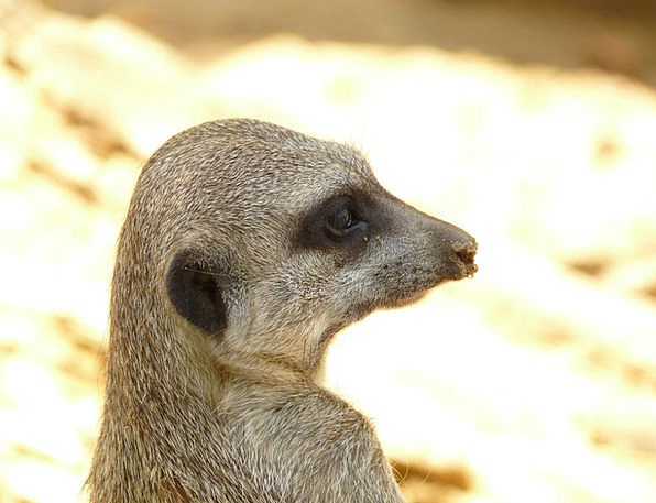 Meerkat Physical Mammal Creature Animal Funny Afri