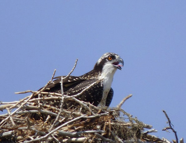 Osprey Landscapes Shell Nature Nature Countryside