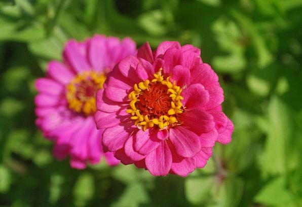 Zinnia Floret Pink Flushed Flower Petals Macro Blo