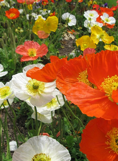 Poppies Plants Gardens Parks Flowers Blooming Fiel