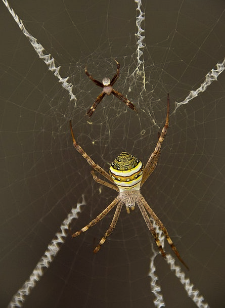 Spider St Andrews Cross Spider Spider Web Queensla