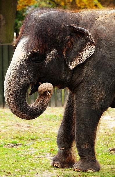 Animal Physical Brown Chocolate Asian Mammal Teeth