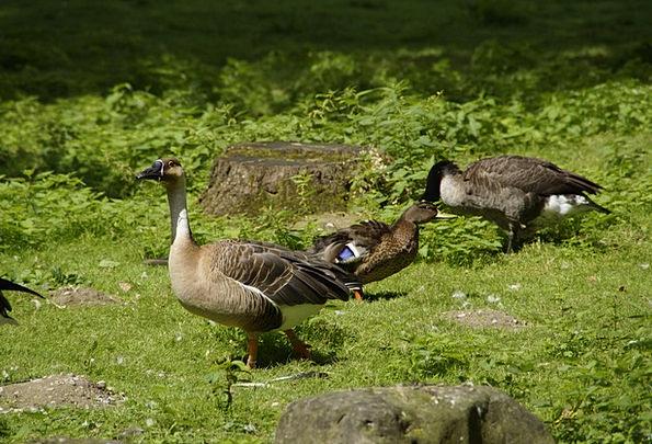 Goose Stoop Water Bird Duck Bird Fowl Meadow Anima