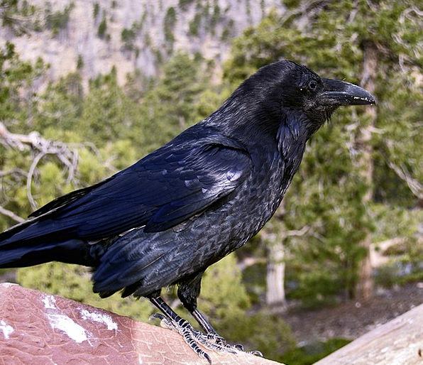 Raven Scoff Fowl Black Dark Bird Animal Physical F