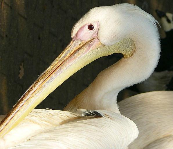 White Pelican Bird Fowl Peilkan Neck Animal Physic