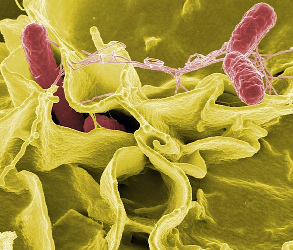 Salmonella Microorganisms Macro Instruction Bacter