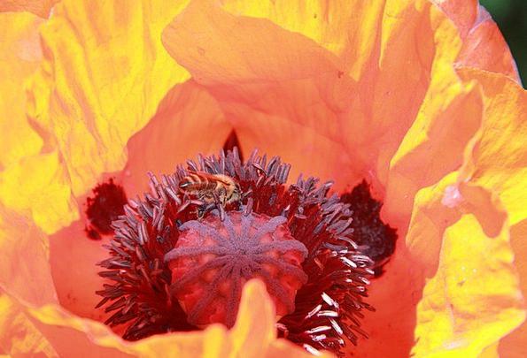 Spring Coil Floret Poppy Flower Bee