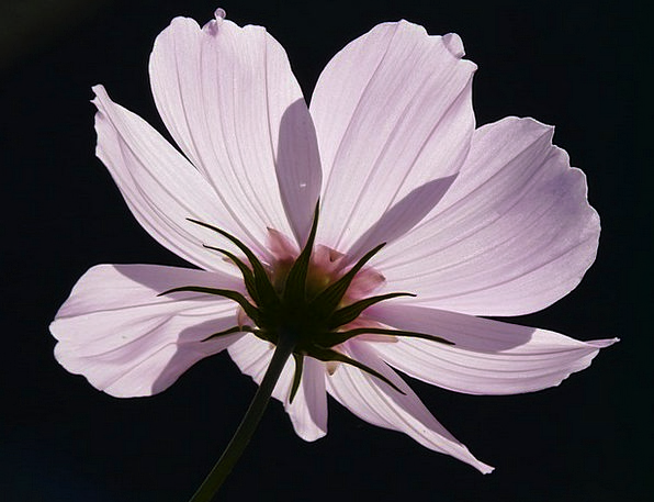 Cosmea Floret Light Pink Flower Purple Translucent