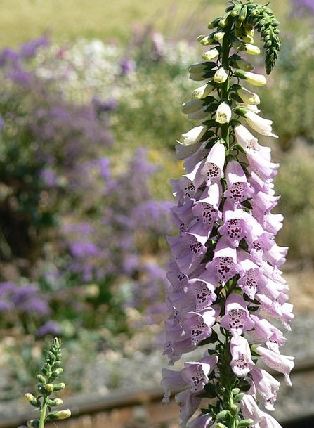 Foxglove Purple Elaborate Digitalis Flower Floret