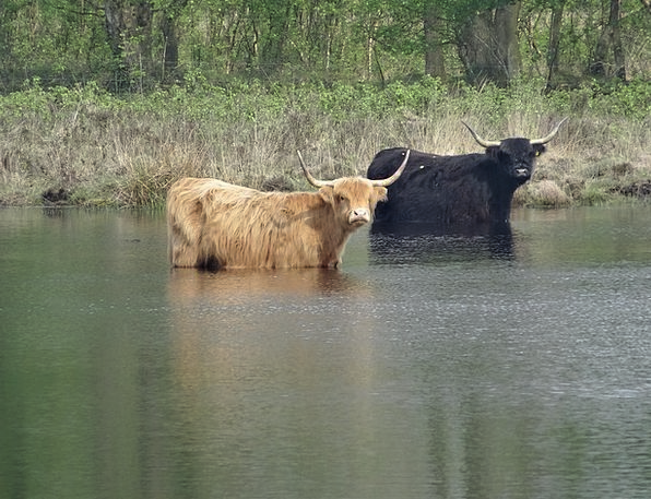 Oxen Steers Intimidates Grazer Cows Landscape Bovi