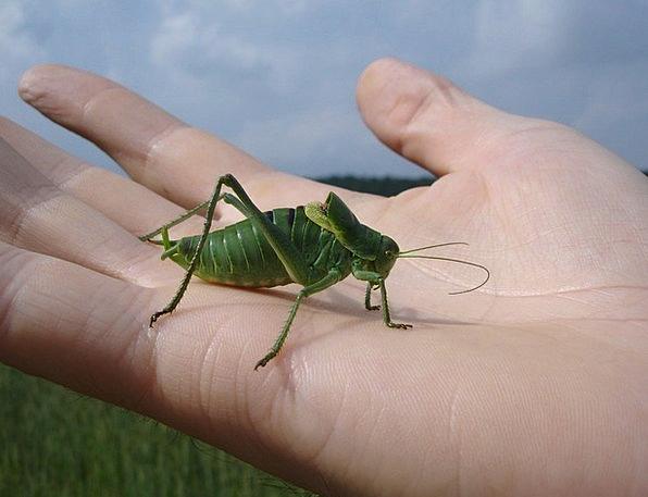 Wart Biter Grasshopper Decticus Verrucivorus Finge