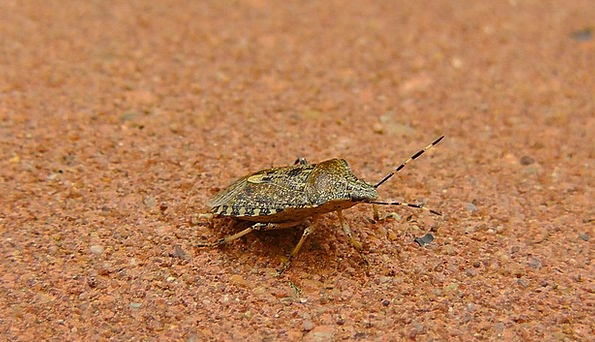 Bug Germ Insect Stink Bug Animal Physical Nature C