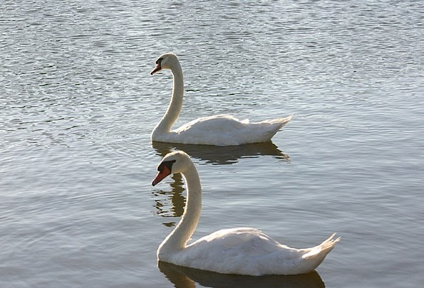 Swans Wanders Landscapes Nature Nature Countryside