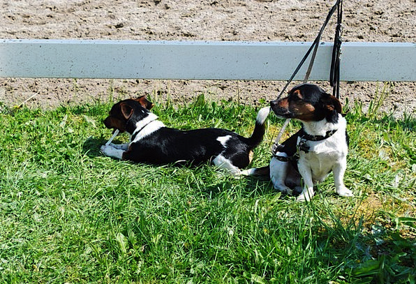 Dogs Canines Sweet Sugary Jack Russel