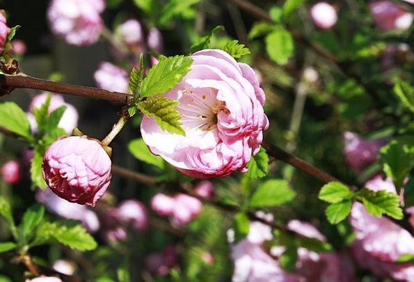 Rose Design Floret Flowers Plants Flower Bud Roses