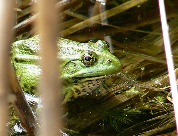 The Frog Aquatic Lutry Water Lake Freshwater