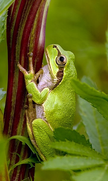 Tree Frog Japanese Tree Frog Frog Fauna Hyla Japon