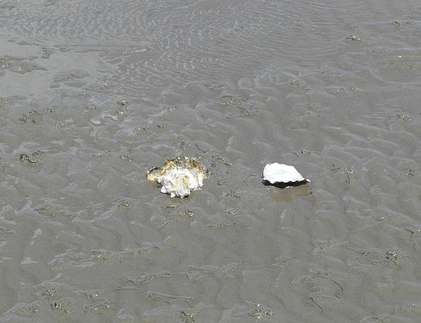 Pacific Oyster Shell Bomb Oyster Schlick Crassostr