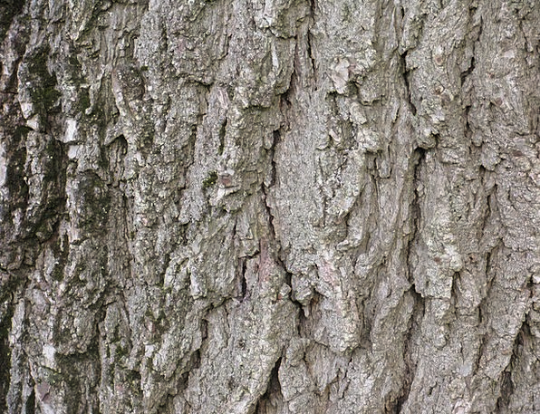 Walnut Textures Sapling Backgrounds Black Walnut T
