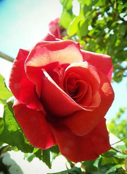 Rosa Bloodshot Flower Floret Red Warmth Balminess