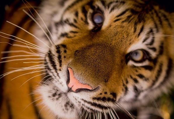 Tiger Flesh-eater Stripes Strips Carnivore Mammal