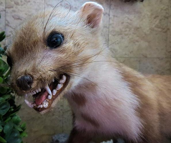 Marten Physical Predator Marauder Animal Zombie Ag
