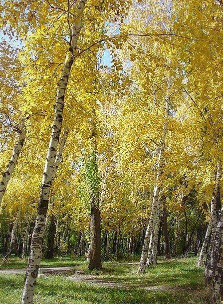 Birch Cane Fall Park Common Autumn Trees Plants Go