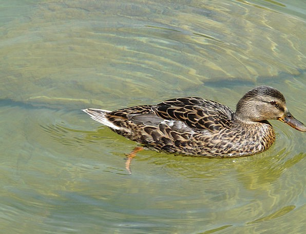 Duck Stoop Bird Anas Platyrhynchos Mallard Ducks D