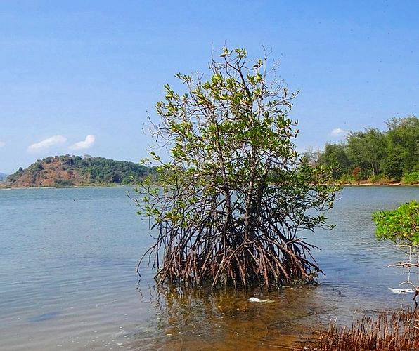 Mangroves Creek Stream Tidal Forest Arabian Sea Ae