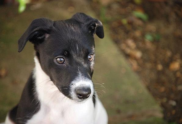 Lurcher Brat Canine Doglike Puppy Dog Pet Black Po
