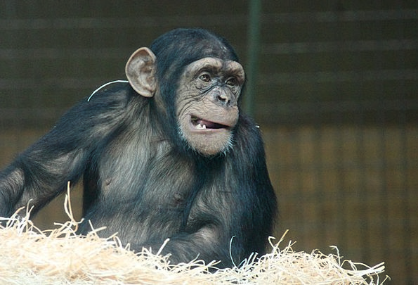 Animal Physical Chimpanzee Ape Sitting Creature Be