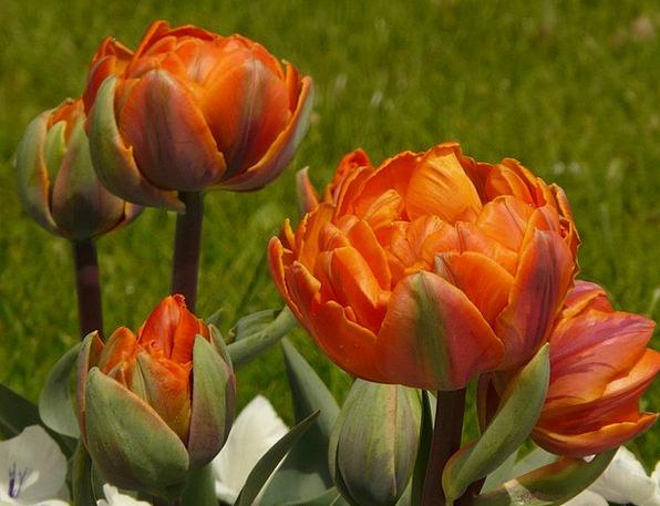 Tulips Full Garden Plot Filled Spring Coil Flowers